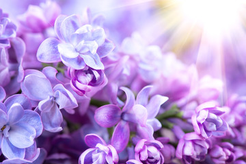 Photo sur Toile Lilac Lilac flowers bunch violet art design background. Beautiful violet lilac flower closeup