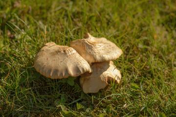 Pilz im Rasen in der Natur