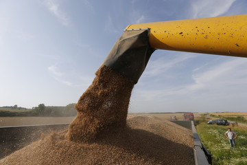 Wheat pours into a truck as a French farmer harvests his crop in a field in Oisy-le-Verger, near Douai, northern France