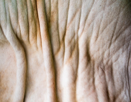 Close up texture of cow skin