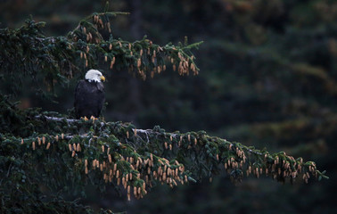 A bald eagle perches in a fur tree above the Chilkoot River near Haines, Alaska