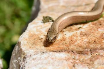 Blindworm (Anguis fragilis) basking on a sunny stone