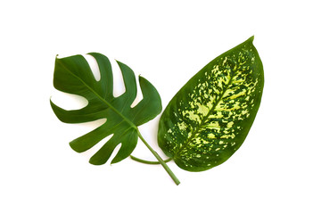 Tropical leaves monstera and dieffenbachia on a white background. Top view, flat lay.