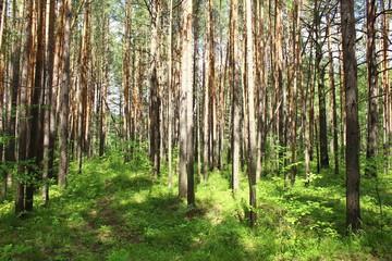 Сосны в лесу освещенные солнцем, Красноярский край