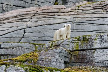 Polar bears on the rocks