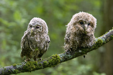 Tawny owl chicks sit on a tree branch at an artificial nest in a forest near village of Uzda