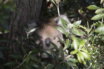 The koala koala bear is an arboreal herbivorous marsupial native to Australia, australian koala bear with her baby