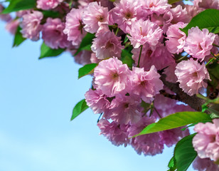 pink sakura flowers on a blue sky background