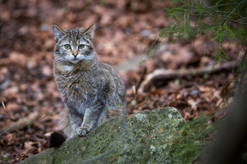 Image of a Wildcat (Felis silvestris) in Germany