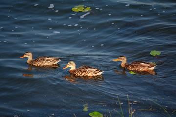 Three wild ducks floating on pond. Pond