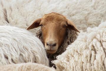Differenz: Dunkles Schaf schaut aus einer Herde heller Tiere Coburger Fuchsschaf