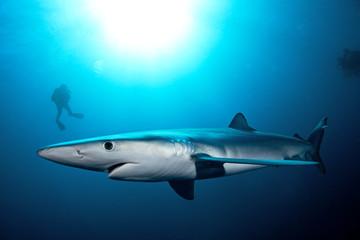 Blue shark, prionace glauca, Atlantic ocean, Simon's Town, South Africa