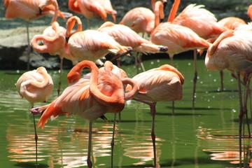 Flamencos rosados.