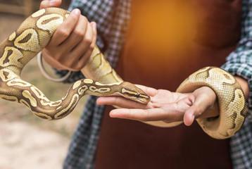 close up python bivittatus or burmese python snake in the hand