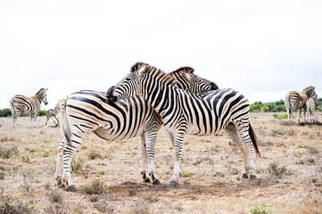 two zebras full height opposite each other