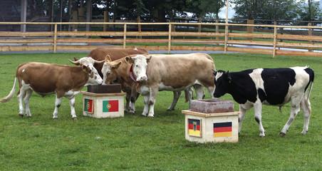Oracle cow Yvonne runs to the Portugal feeding trough at Gut Aiderbichl in Deggendorf Eichberg