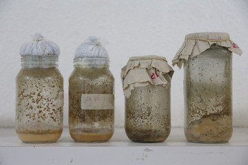 Drosophila melanogaster larvae, that will be used as part of the diet for frogs, are seen inside glass containers at the terrarium facilities in Caracas