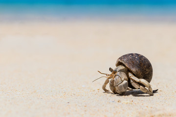 Hermit crab on  tropical beach