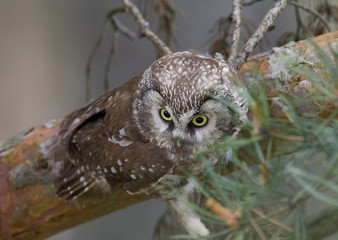 A boreal owl sits on a pine branch in a forest on the outskirts of Minsk