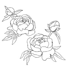 vector contour sketch of peony flowers