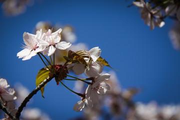 Cherry flowers against the blue sky.