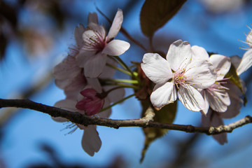 Cherry blossom in the spring.