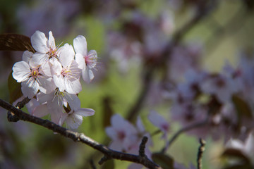 Spring flowers on a cherry tree.