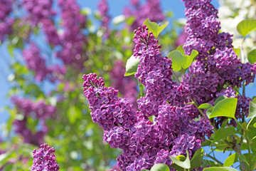 Photo sur Toile Lilac Flieder, Syringa, Lilac