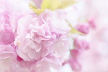 Fototapeta 広島造幣局の八重桜