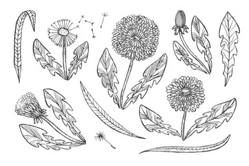 Floral elements for design, doodle ink dandelion set