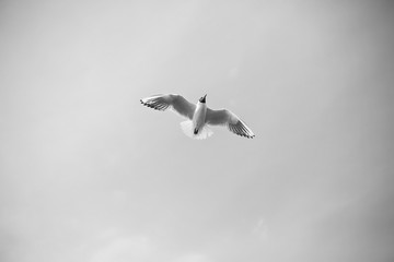 Seagull in the sky (black and white picture)