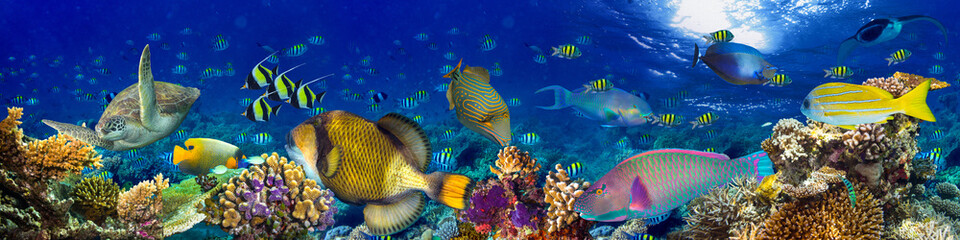 Wall Murals Panorama Photos colorful wide underwater coral reef panorama banner background with many fishes turtle and marine life