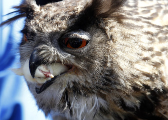 Owl eats dead poultry during falconer's show in Berlin