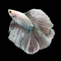 Doubletail Betta Female on black background. Beautiful fish. Swimming flutter tail flutter.