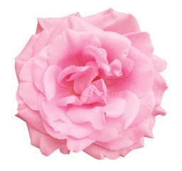 pink rose white background