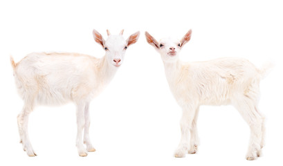 Two white goats standing isolated on white background