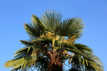 palm tree with dates in the tropical country in summer