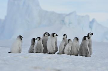 Photo sur Aluminium Antarctique Emperor Penguin chicks in Antarctica