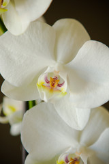 White Orchid on brown dark background