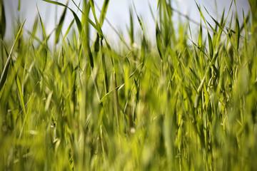 трава утром весной в каплях росы