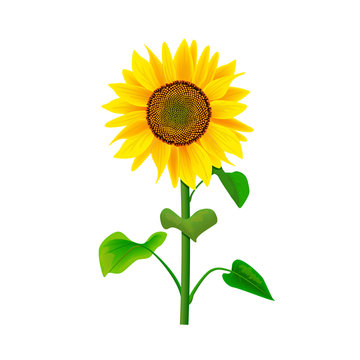 Sunflower flower or Helianthus isolated with stem and leaves on white background