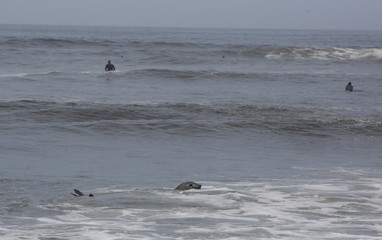 An elephant seal returns to the sea, helped by police and volunteers, after it was found in a sick condition on a beach at Miraflores district of Lima