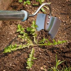 Garden Hoe With Weed In Ground In Garden Close Up. Struggle Weeds.