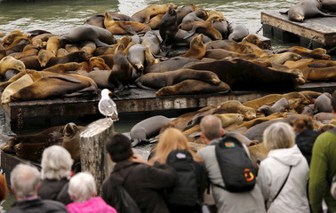 People gather as a crowd of sea lions lay on floating docks at Pier 39 in San Francisco