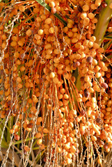 Palm tree dates (Phoenix dactylifera) with ripening fruit close-up shot