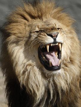 Lion roars in his enclosure at Hagenbeck Zoo in Hamburg