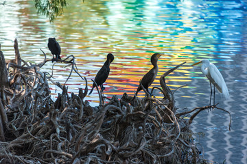marine birds on tree roots, surrounded by rainbow reflections in rippled water.