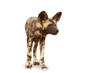 Isolated on white background, African Wild Dog Lycaon pictus, close up puppy. Zimanga, South Africa.
