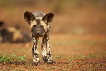 Portrait of African Wild Dog Lycaon pictus puppy staring directly at camera in close up distance. Low angle photography. Typical african reddish soil. Blurred background. Soft light. South Africa.