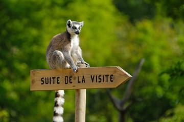 lémurien zoo animal singe parc animalier visiter panneau